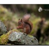 Red Squirrel 0128