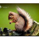 Red Squirrel 0136