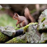 Red Squirrel 0164