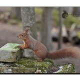 Red Squirrel 7195