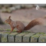 Red Squirrel 7196