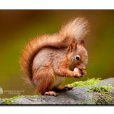 Red Squirrel 9976