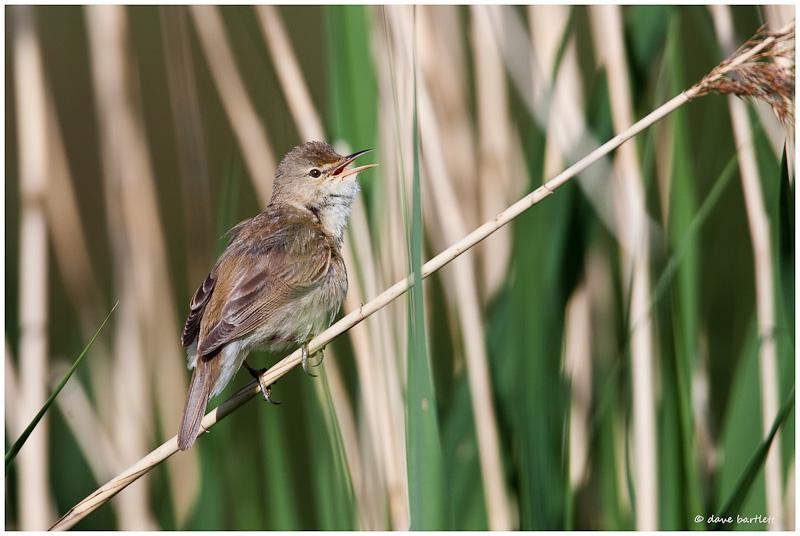 Reed warbler singing