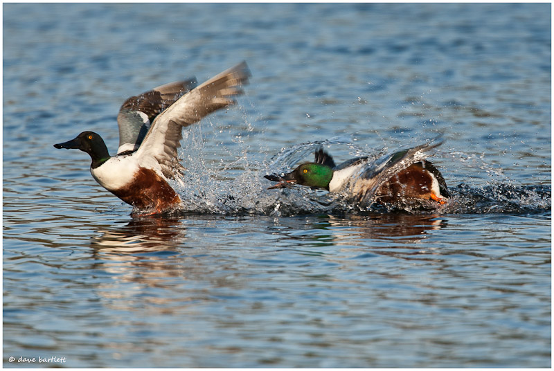 Shoveler ducks in pursuit