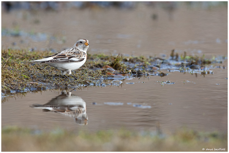Snow bunting reflection