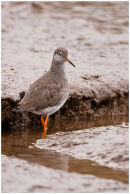 Redshank in creek