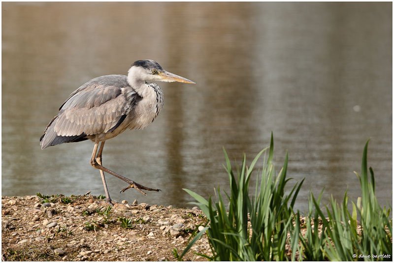 Grey heron walking