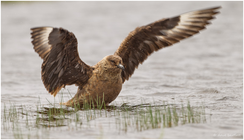 Great skua bathing