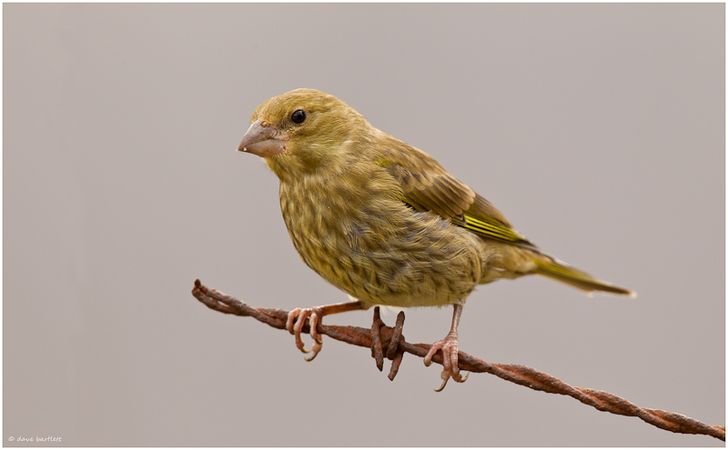 Greenfinch perched