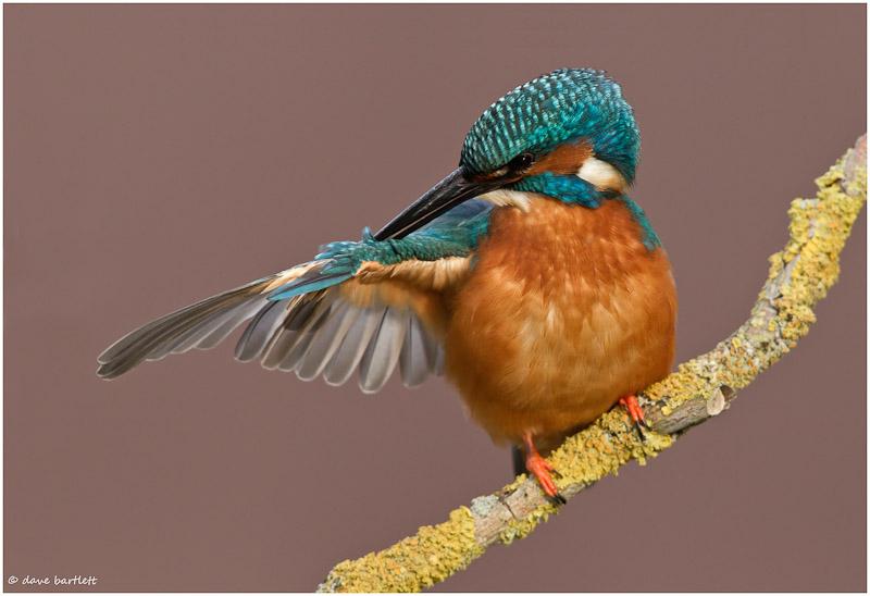 Kingfisher preening