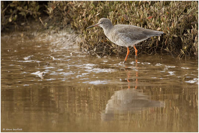 Redshank reflection