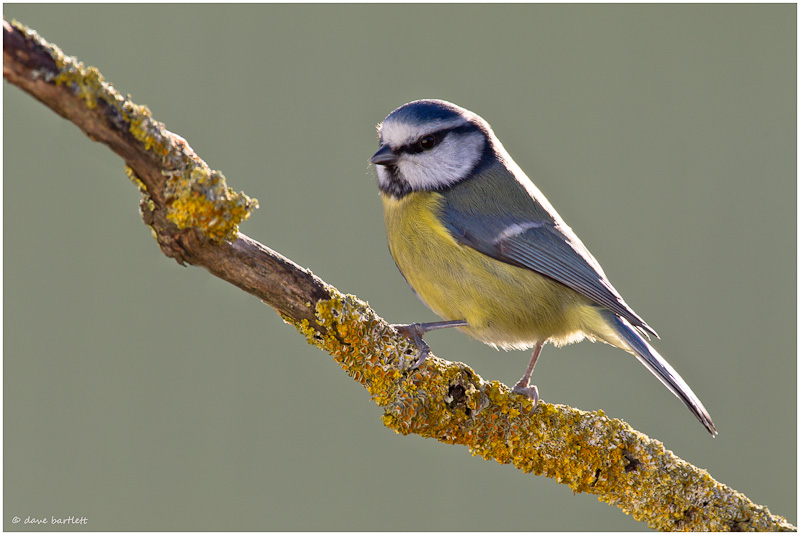 Blue tit on lichen covered perch