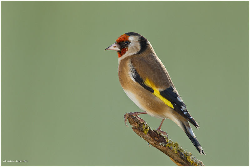 Goldfinch perched
