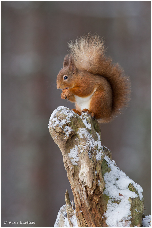 Red squirrel on tree stump in the snow