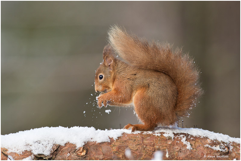 Red squirrel blowing snow !!
