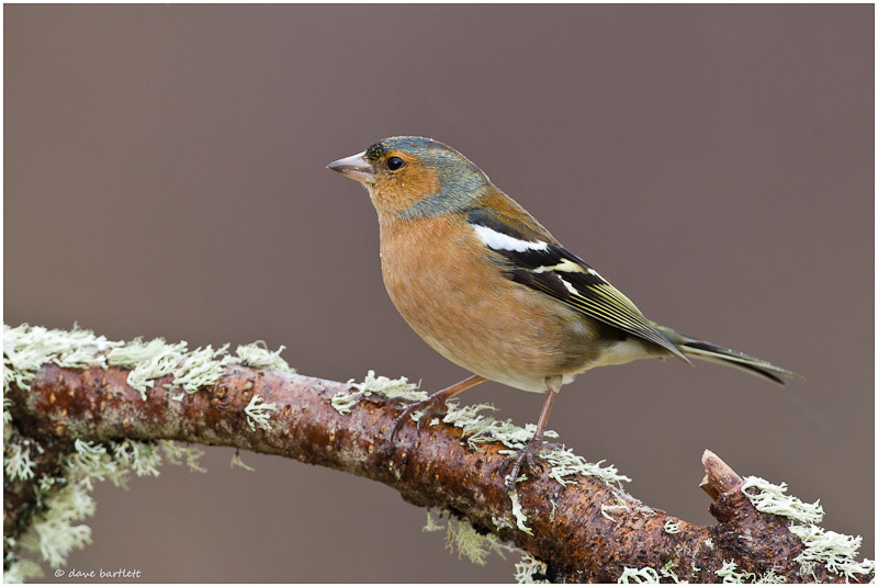 Chaffinch perched