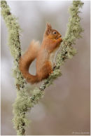 Red squirrel on lichen