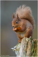 Red squirrel on tree stump