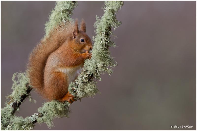 Red squirrel on lichen