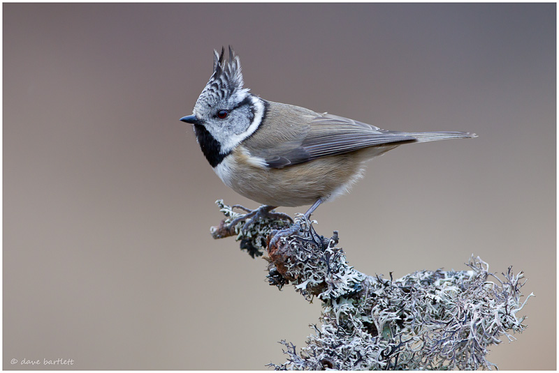 Crested tit perched