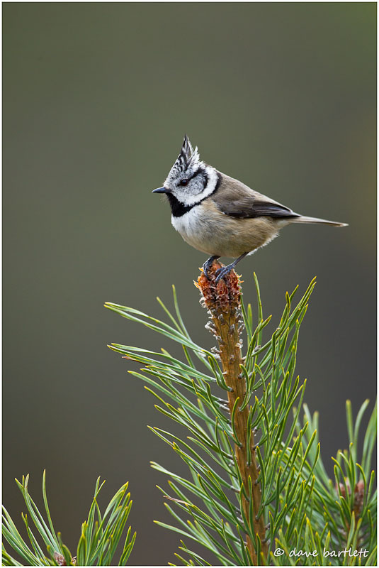Crested tit on pine