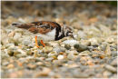 Turnstone in summer plumage
