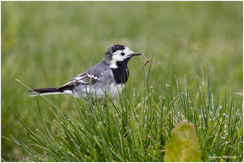 Pied wagtail with crane fly