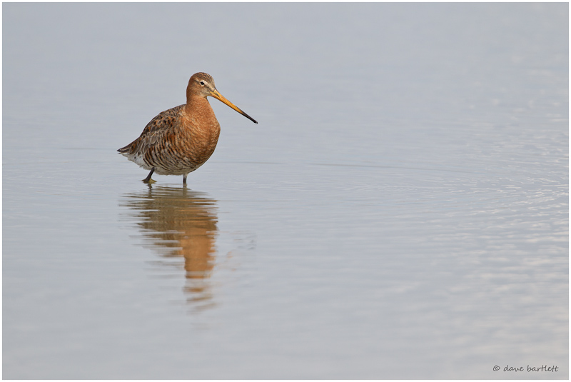 Black tailed godwit wading
