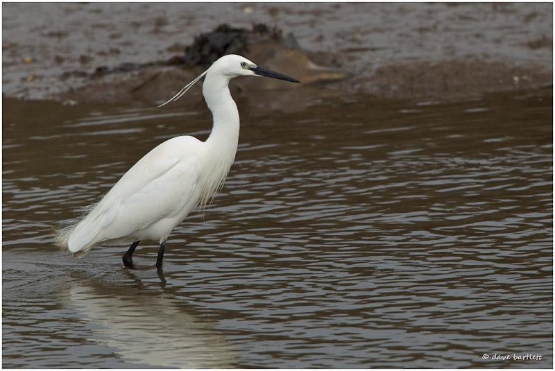 Little egret wading
