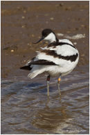 Avocet turning