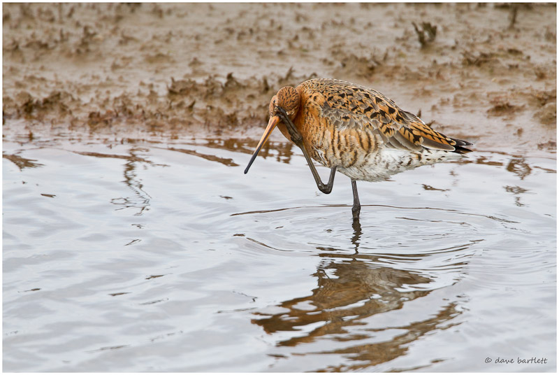 Black tailed godwit looking coy!