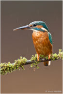 Kingfisher on mossy branch