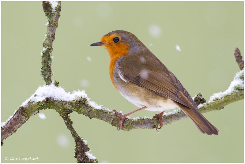 Robin perched on twig