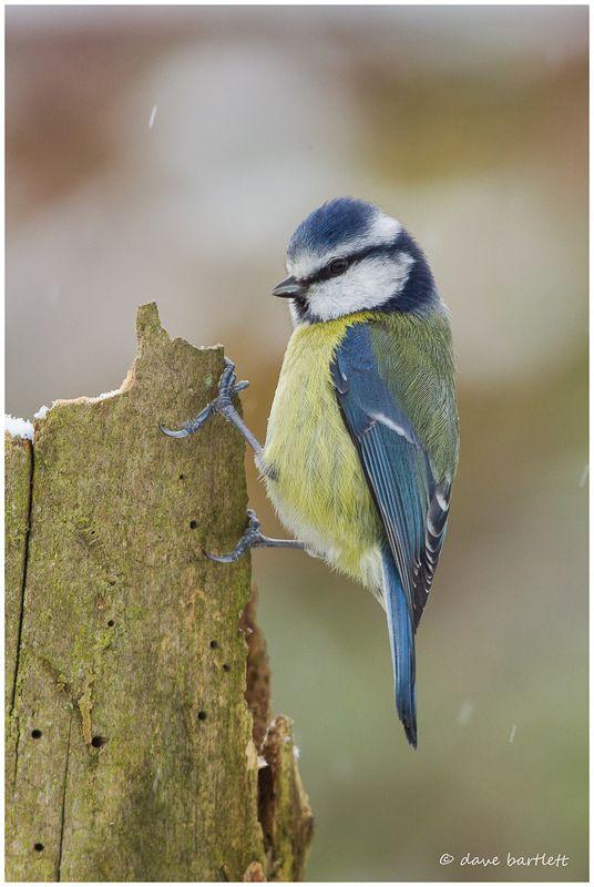 Blue tit on log