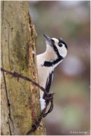 Great spotted woodpecker on post