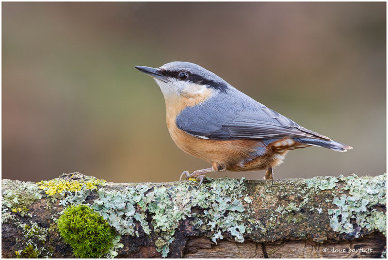 Nuthatch perched on log