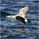 Drake common eider take off