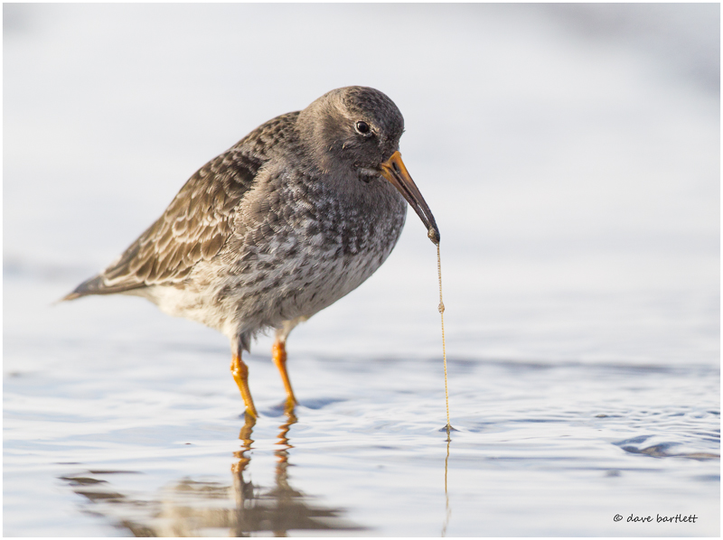 Purple sandpiper with worm