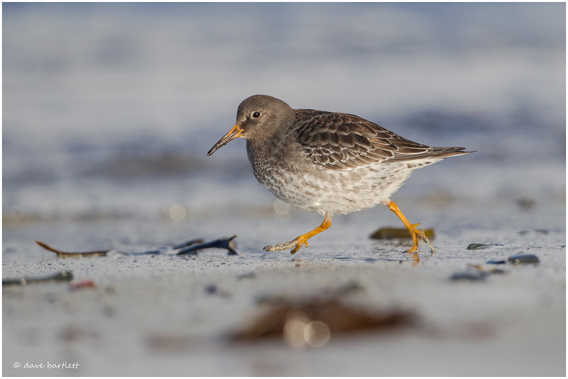Purple sandpiper on the run
