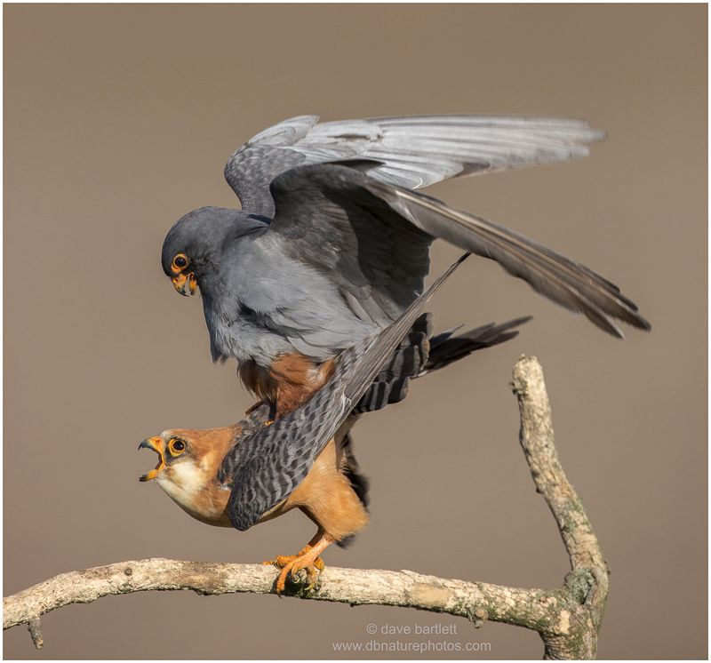 Red footed falcons mating