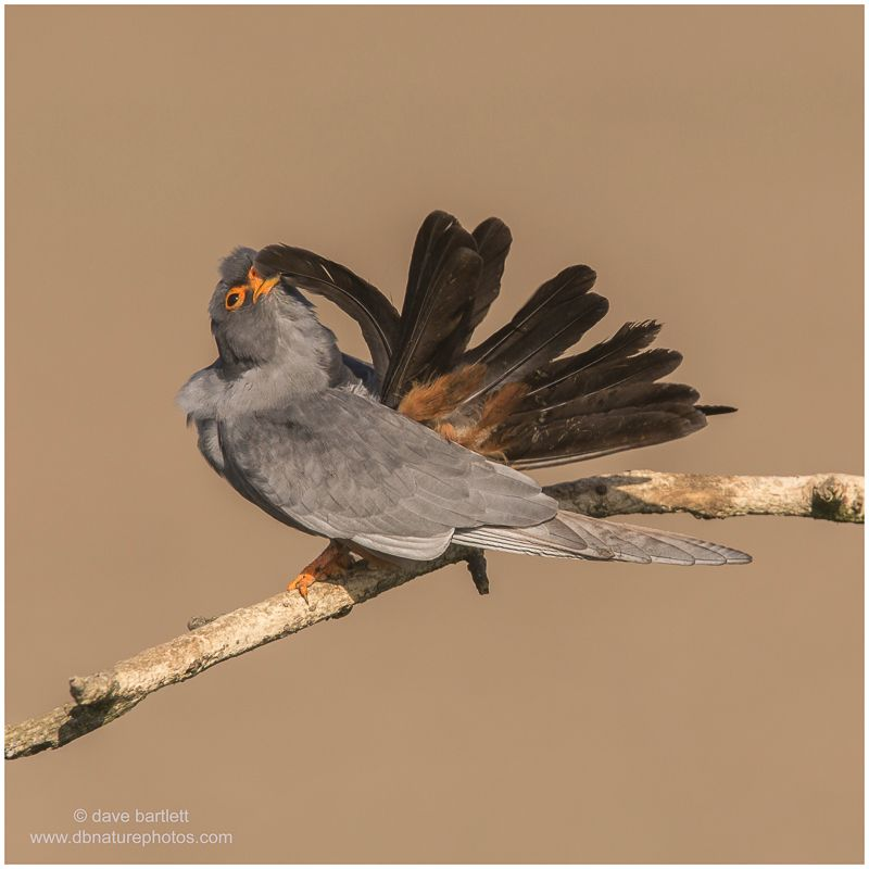 Male red footed falcon preening
