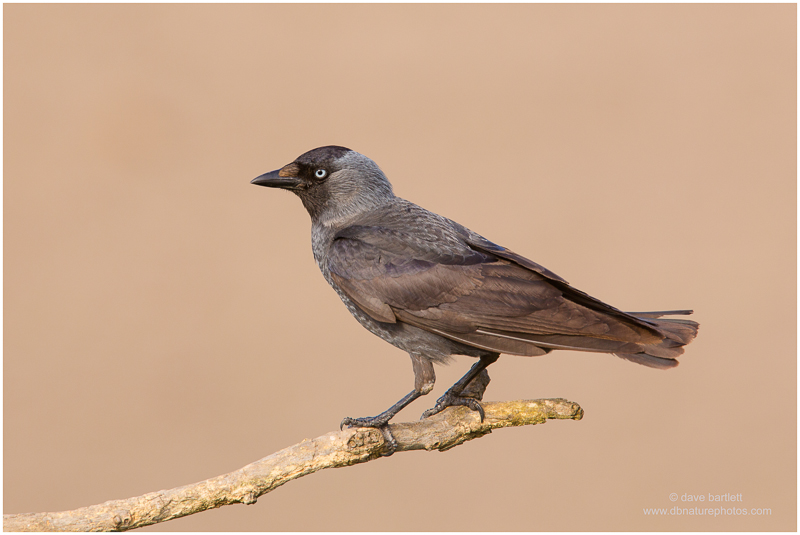 Jackdaw perched
