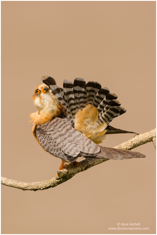 Female red footed falcon
