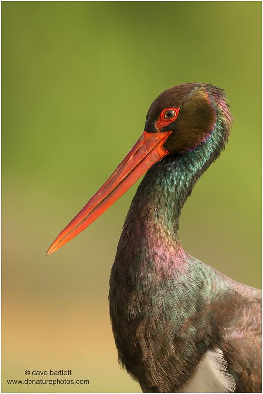 Adult black stork