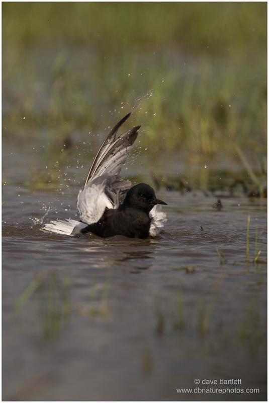 Black tern bathing