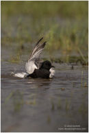 Black tern bathing