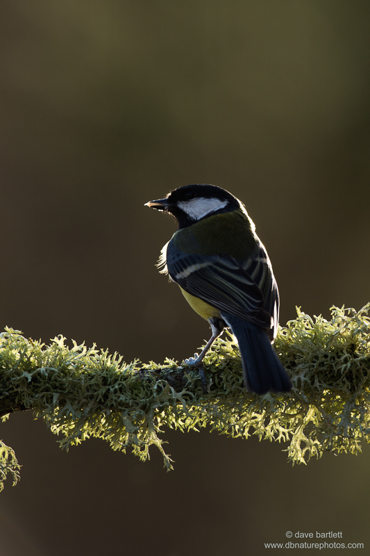 Backlit great tit