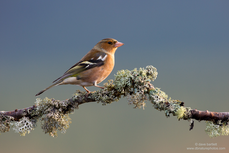 Chaffinch (male) on branch