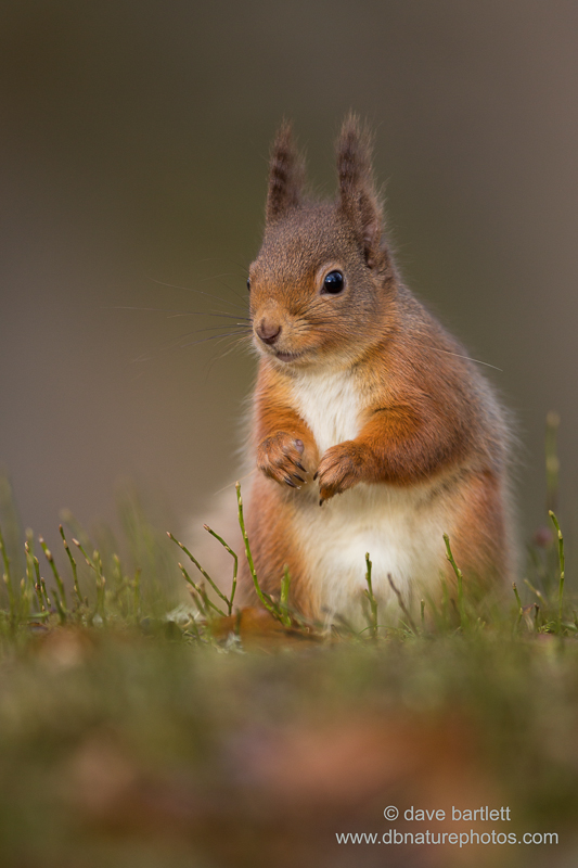 Red squirrel posed