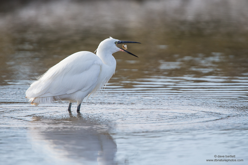 Little egret fishing